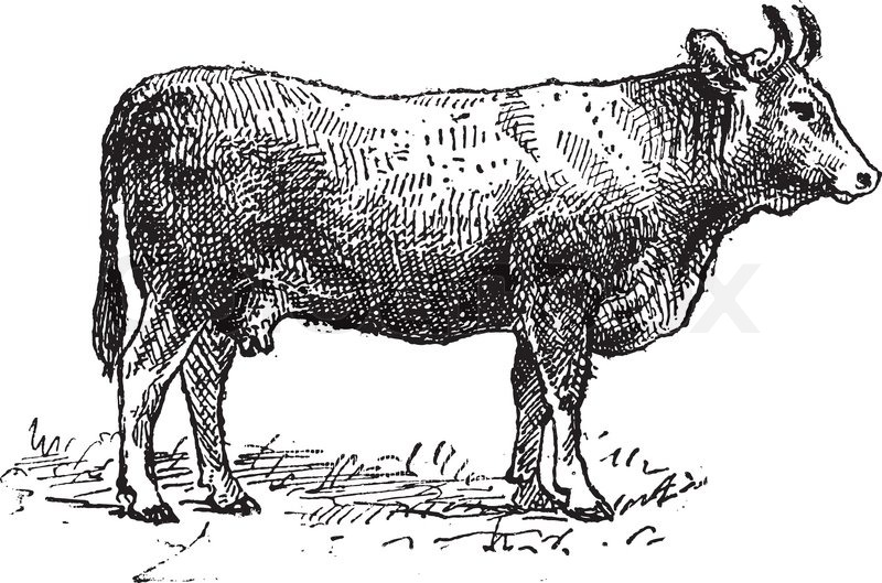 4873054-limousin-cattle-breed-vintage-engraving